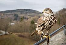 Erzgebirge Lauenstein Castle Falconry Show.