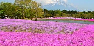 Mount Fiji with the shibazakura flowers, Japan