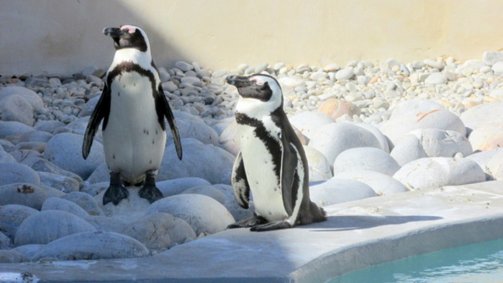 African Penguin and Seabird Sanctuary, South Africa