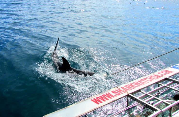 Shark cage diving with Marine Dynamics, Gansbaai