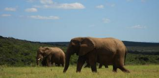 Elephants at Addo Elephant National Park, South Africa