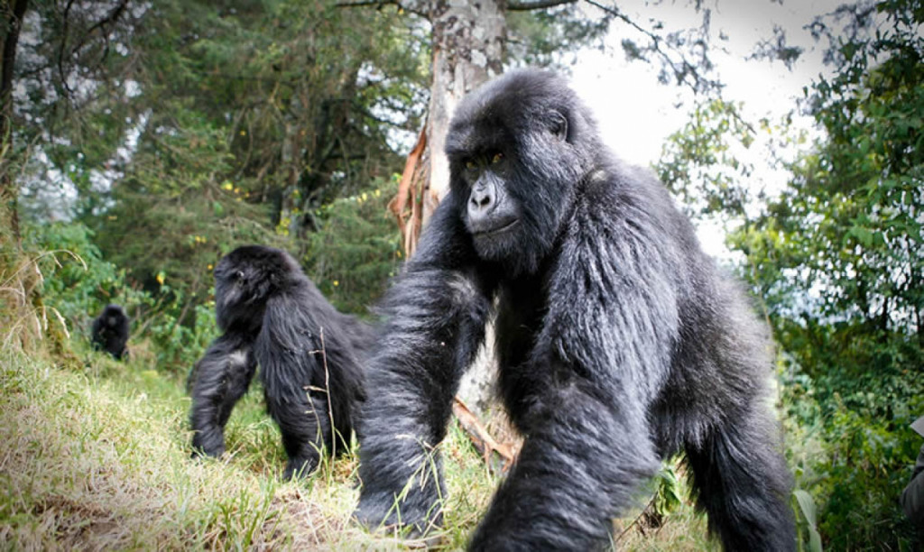 Virunga Mountain Gorillas, Rwanda