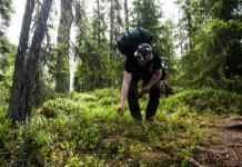 Foraging in Hossa National Park, Finland