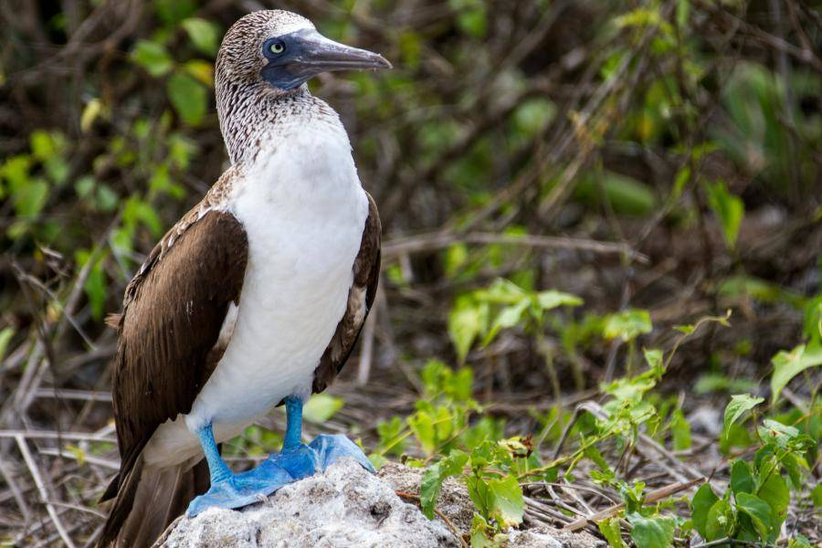Blue Footed Boobie in Ecuador