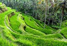 Rice terraces of Tegalalang, Ubud