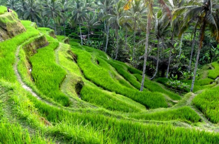 Rice terraces of Tegalalang, Ubud
