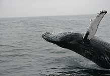Whale watching in Sydney, Australia