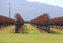 Vineyard in Blenheim, New Zealand