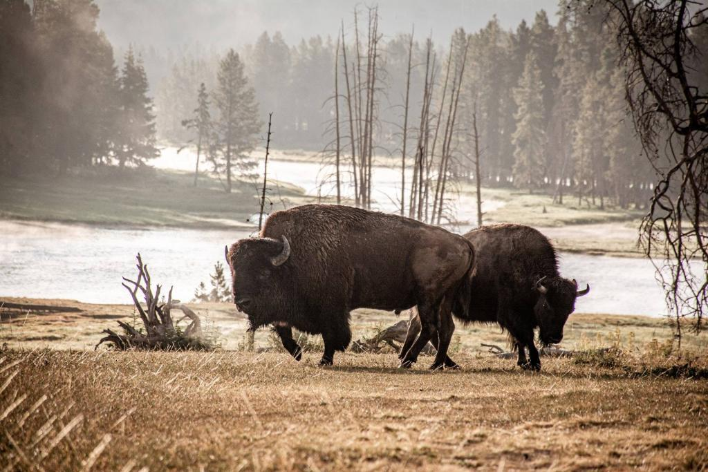 Bisons on a Yellowstone safari