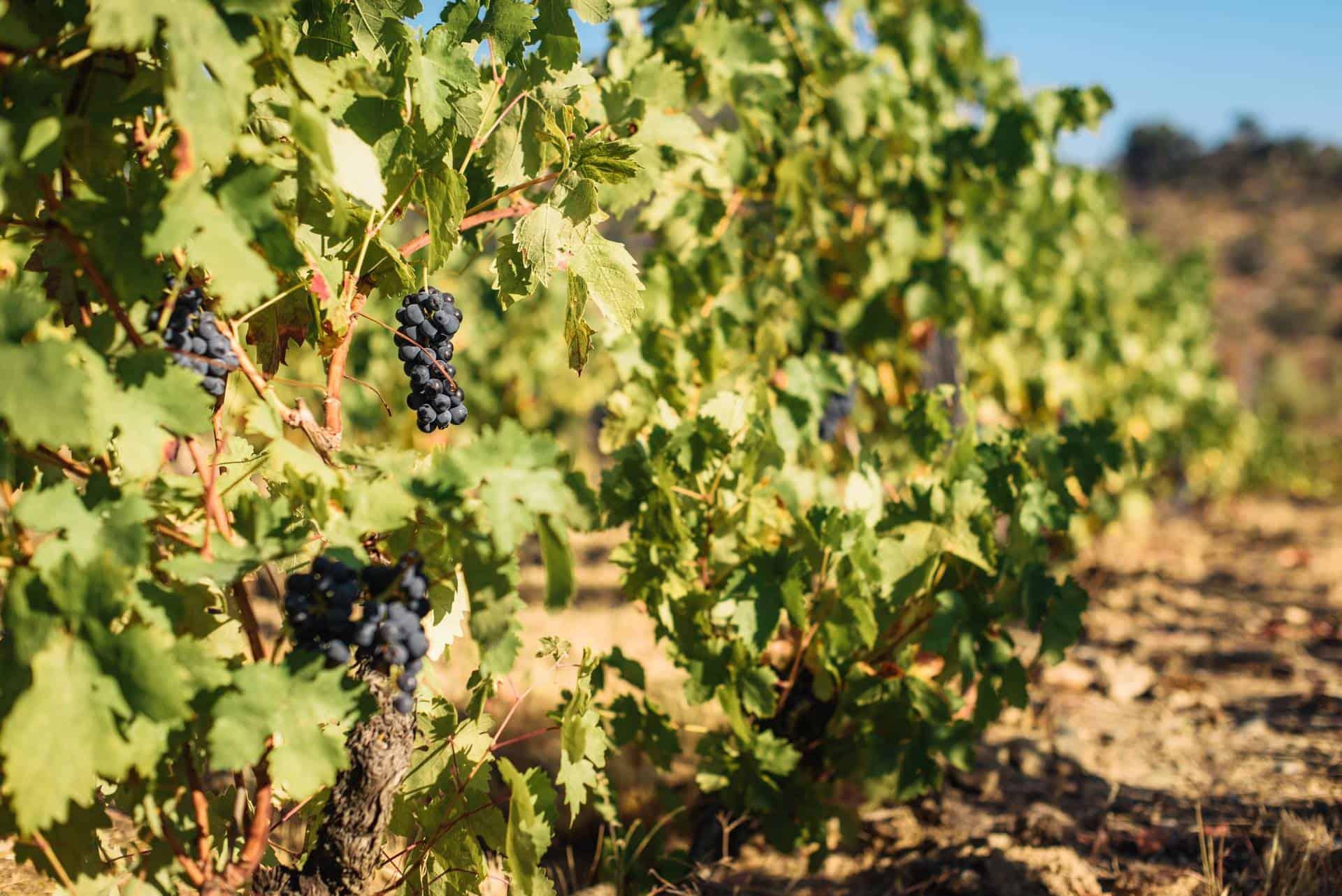 Douro wine and port